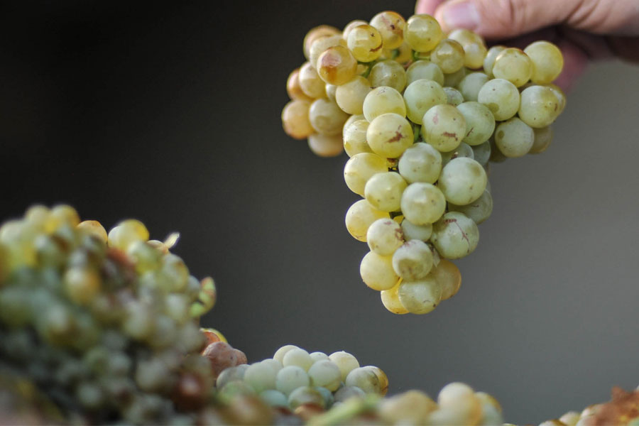 Vinergia Spanish Wines Campos de Luz Grapes